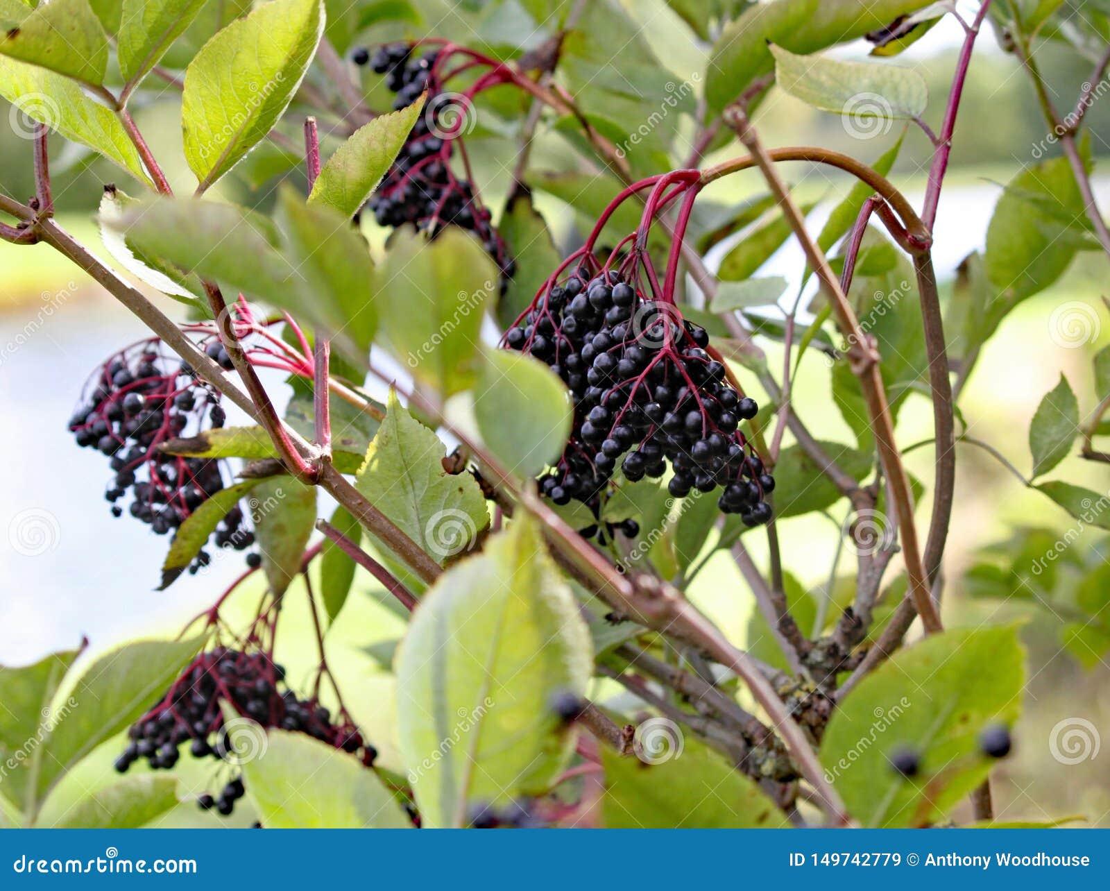 Bayas del saúco maduras que crecen salvajes en un árbol por el canal