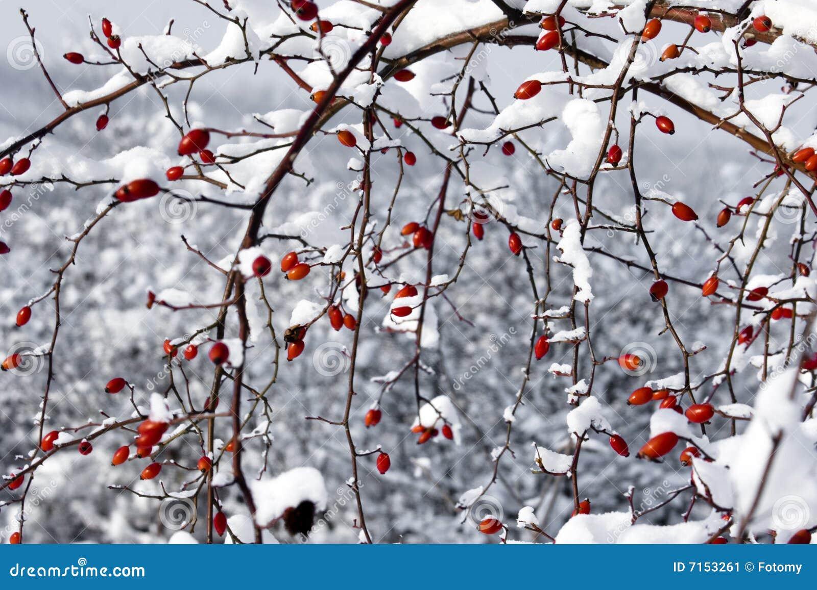 Bayas y nieve rojas