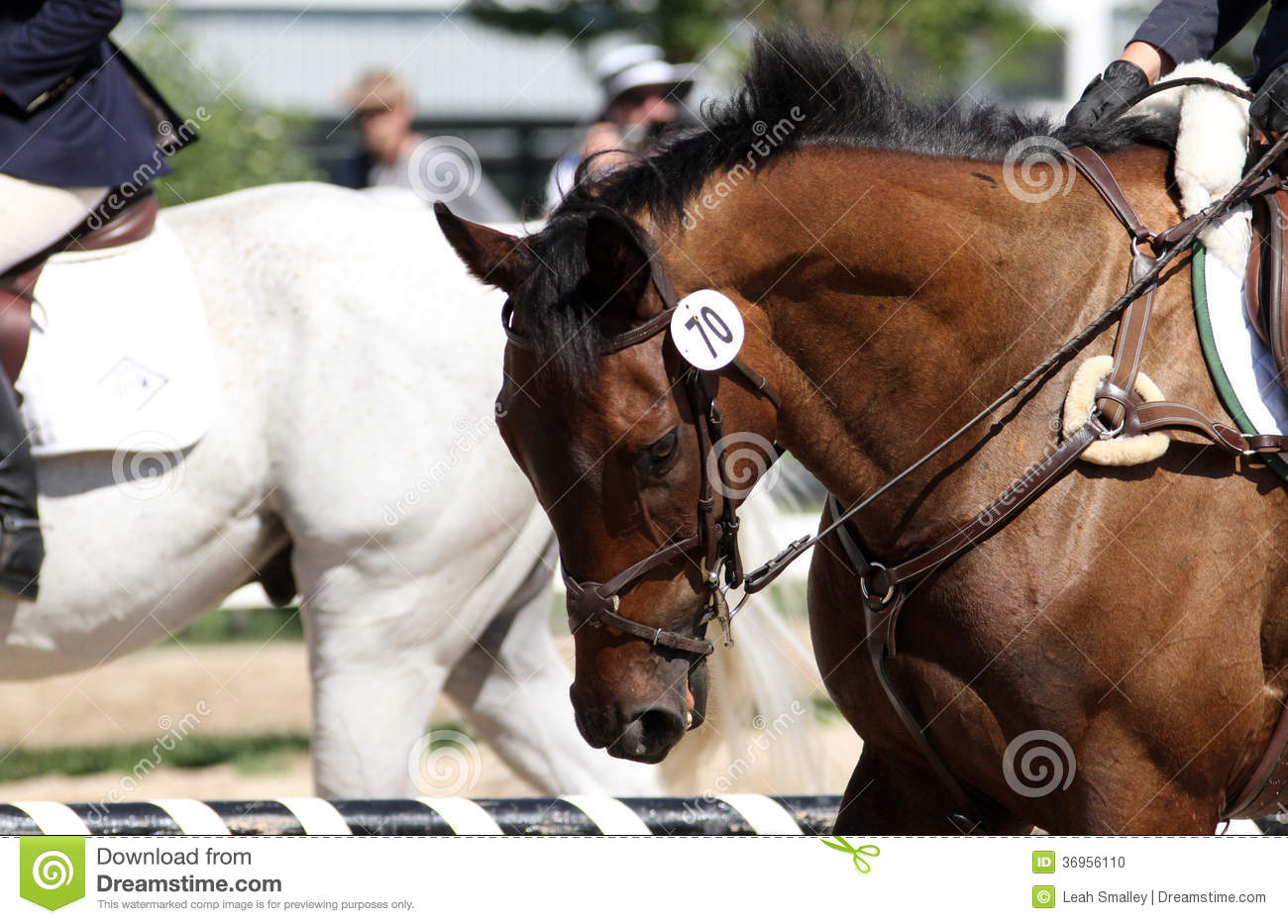 Bay Thoroughbred Event Horse Stock Photo Image Of Full Event 36956110