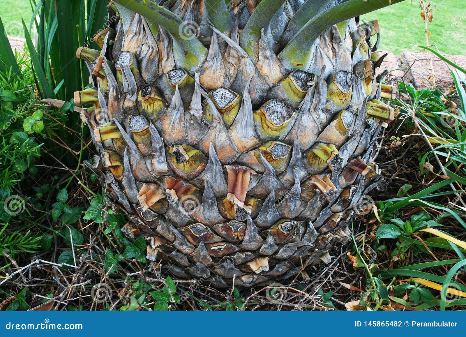 BAZA CYCAD roślina