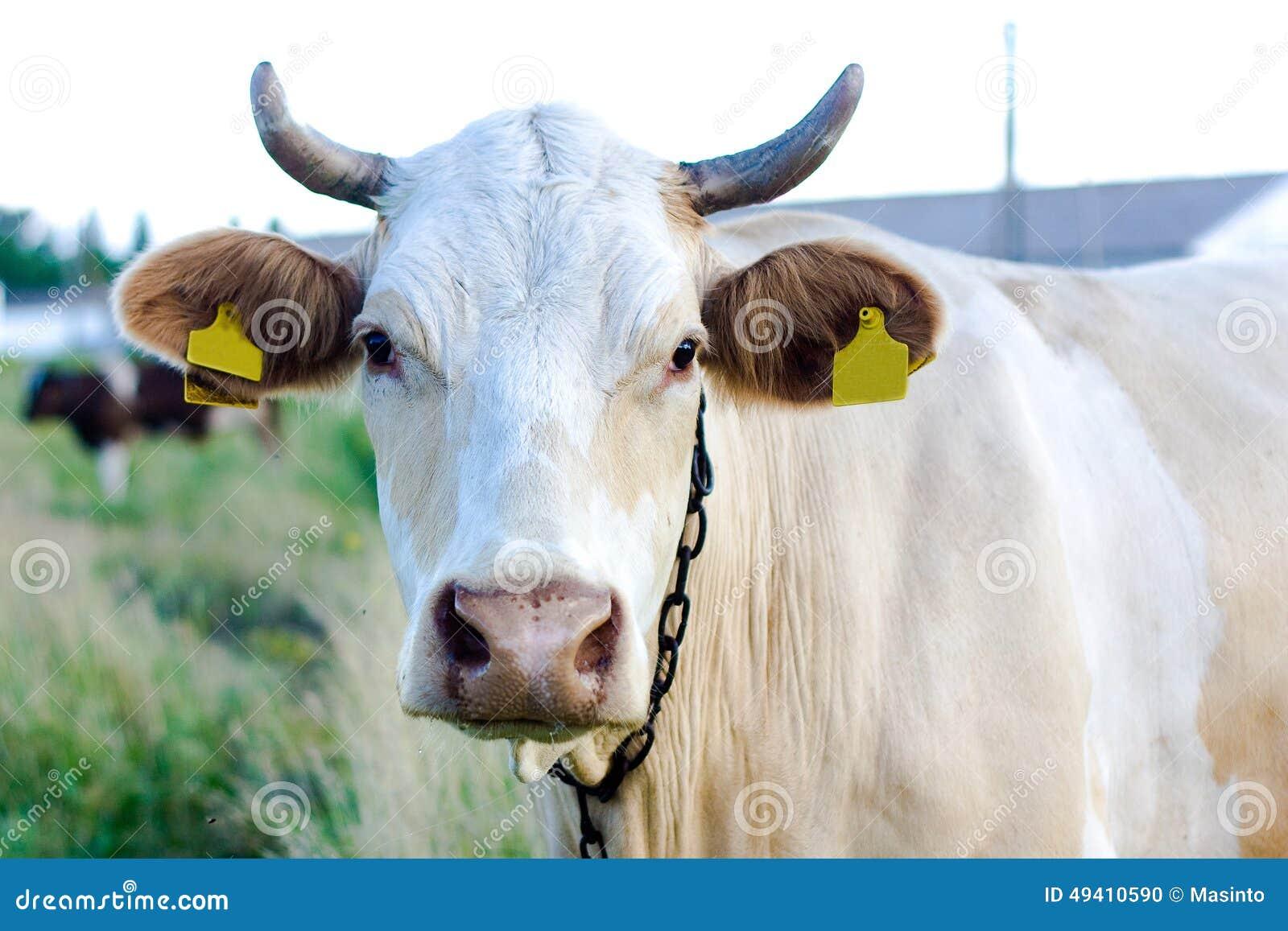 Beżowa krowa