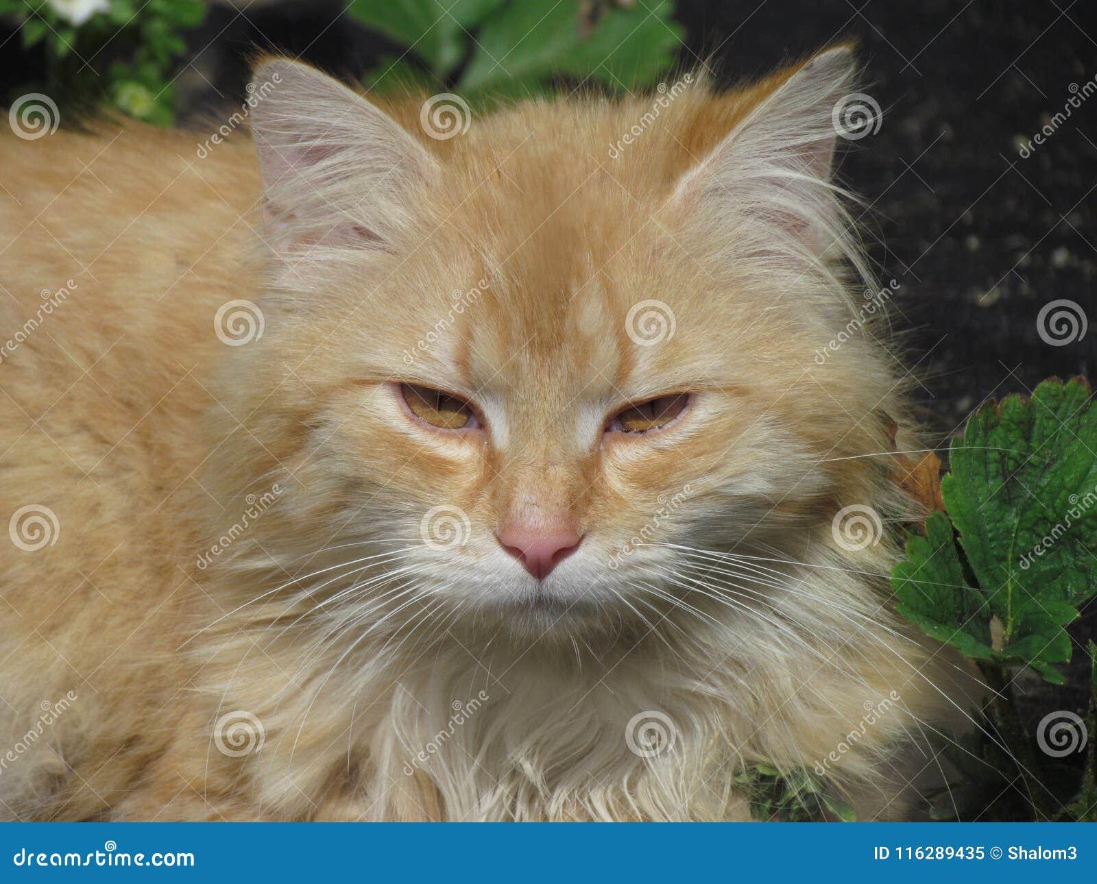 Beżowy tomcat z żółtymi złocistymi oczami Zanudzający kot w ogródzie Kota zamknięty up protrait