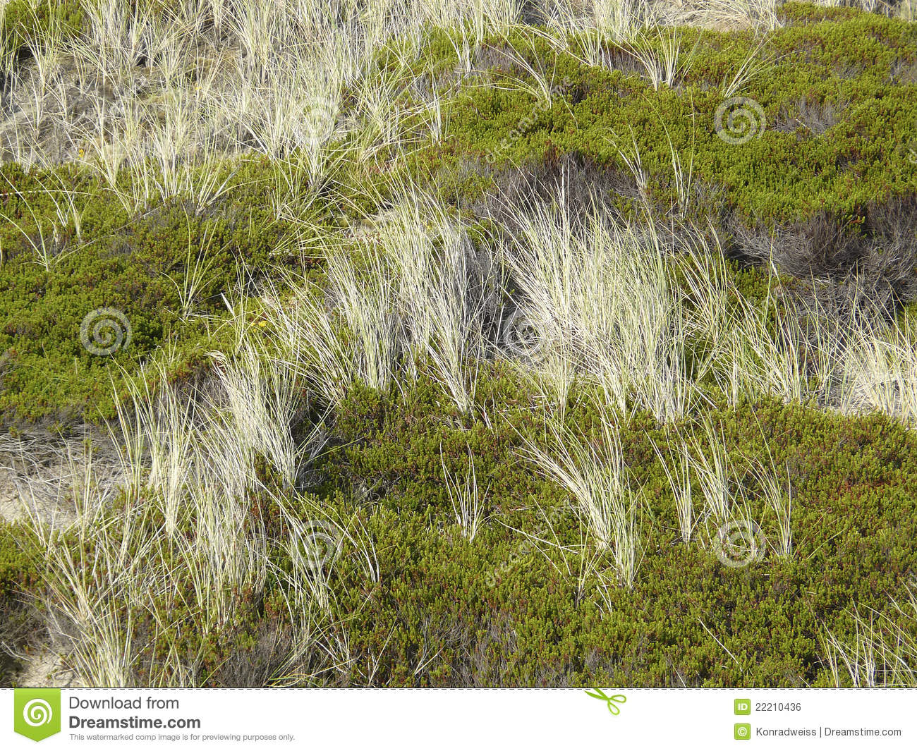 Download Beach Grass And Crowberry In The Dunes Of Sylt Stock Photo - Image of beachgrass, european: 22210436