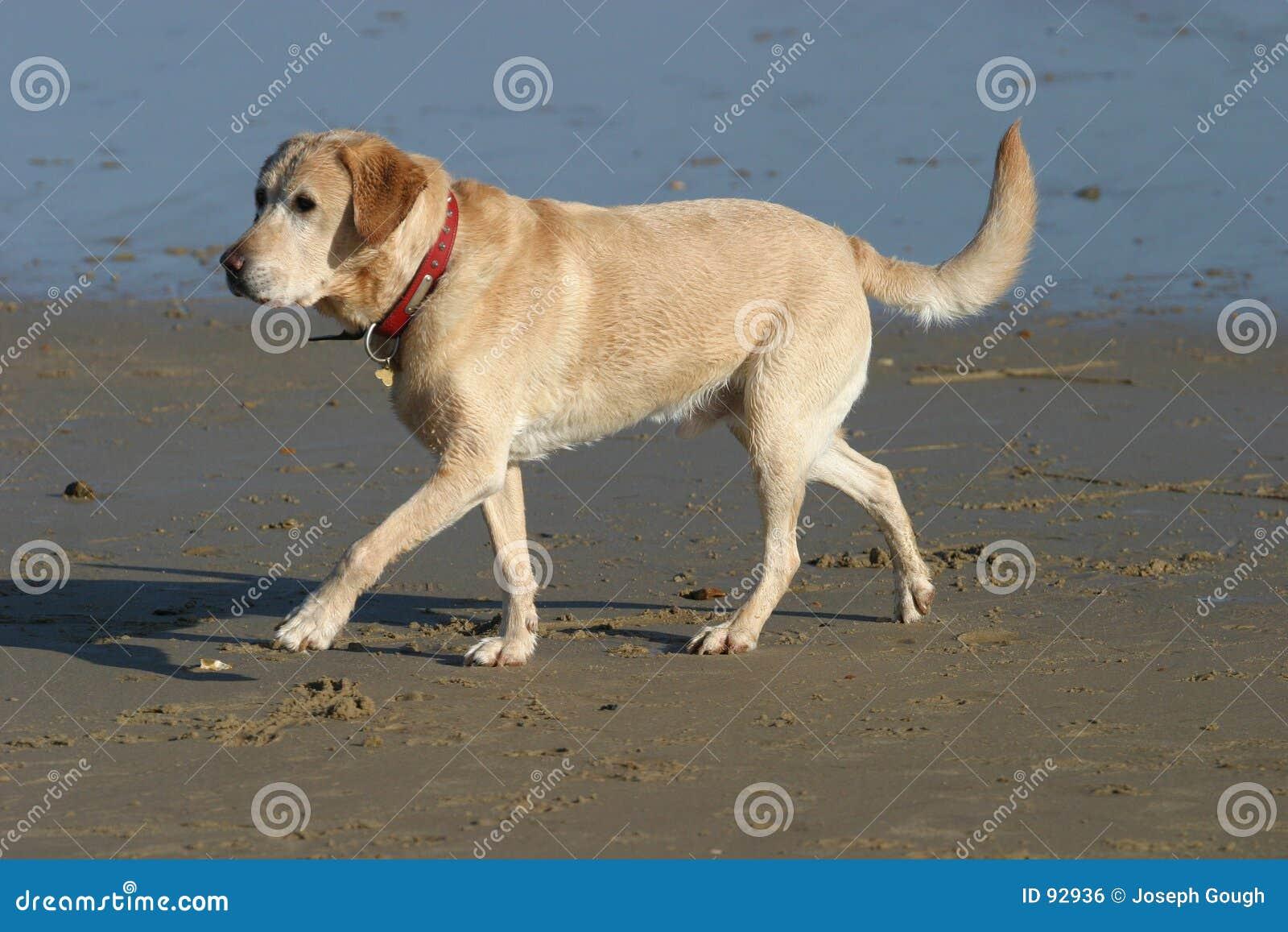 Beach labrador