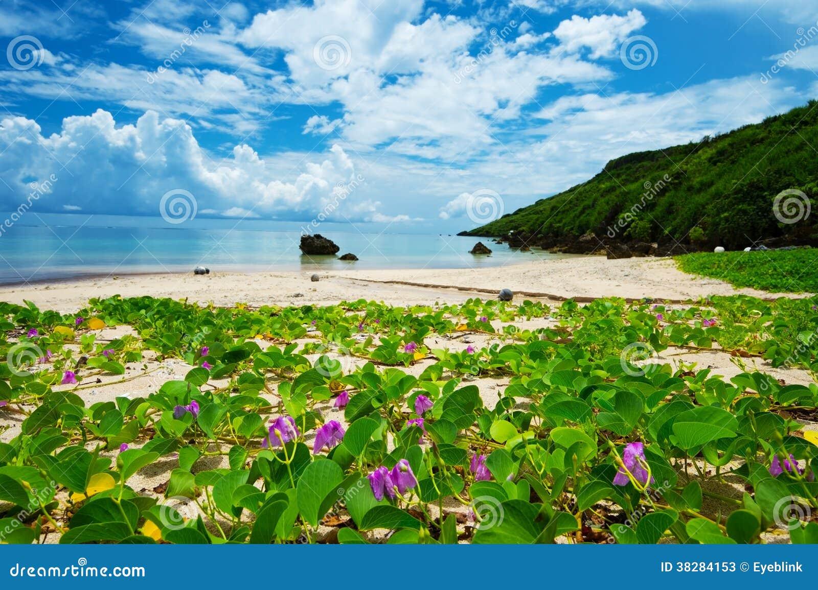 The Beach Morning Glory in ARAGUSUKU Coast-Ipomoea pes-caprae, O