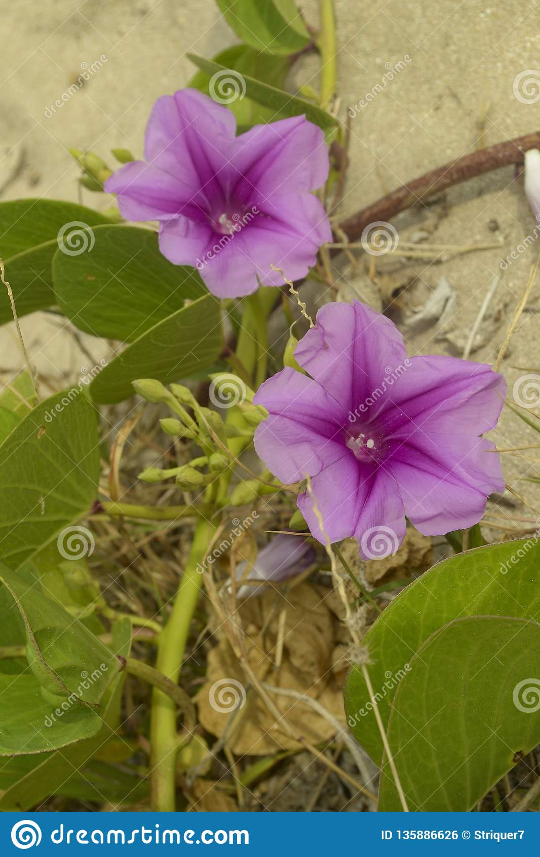 Beach morning glory or goat`s foot Ipomoea pes-caprae.