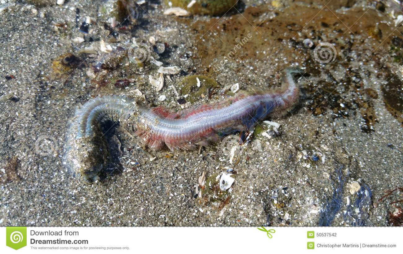 Beach Worm Stock Photo