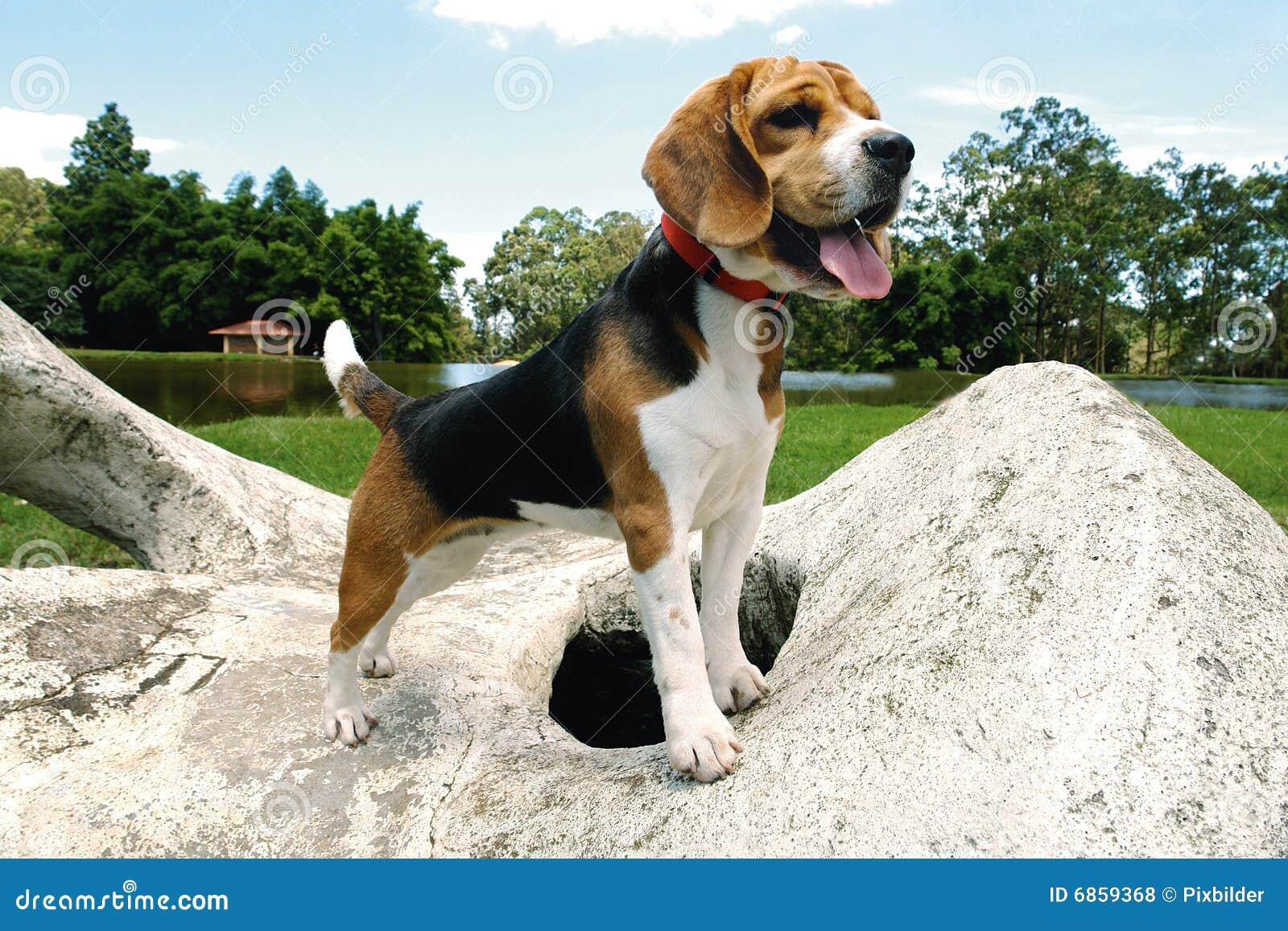 Beagle 7