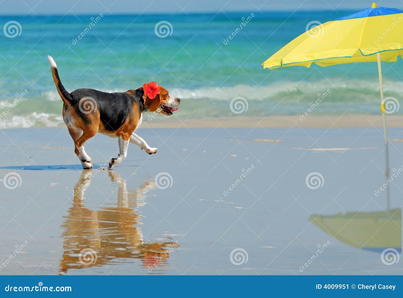 Beagle on Beach