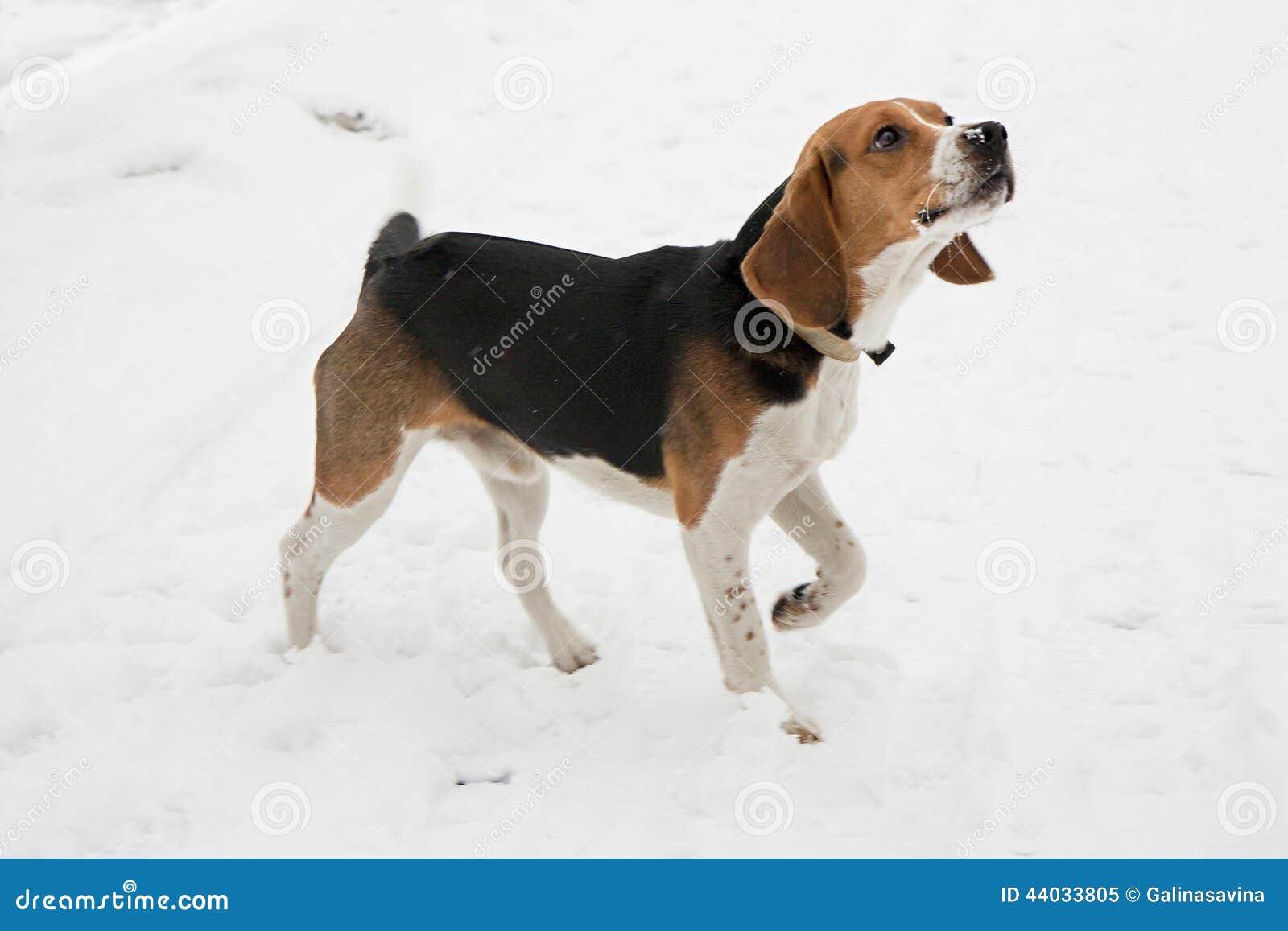 Beagle Del Perro Imagen De Archivo Imagen De Animal 44033805