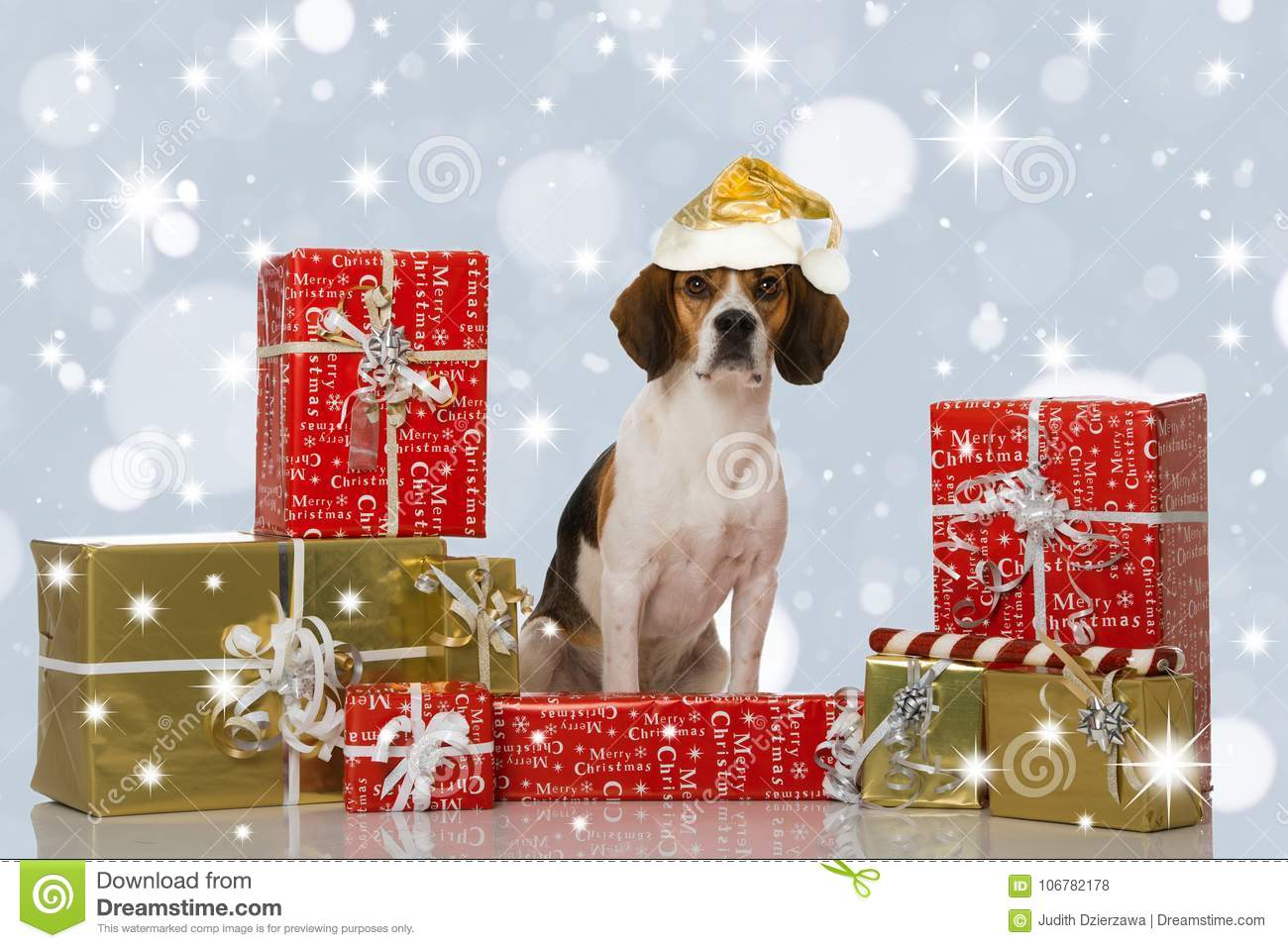 Beagle Dog With Christmas Gifts Stock Photo - Image of cute, copy ...