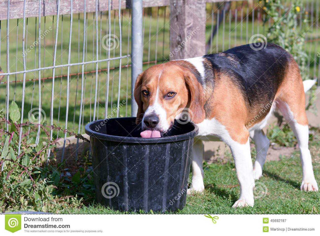 Beagle dog drinking water from bucket