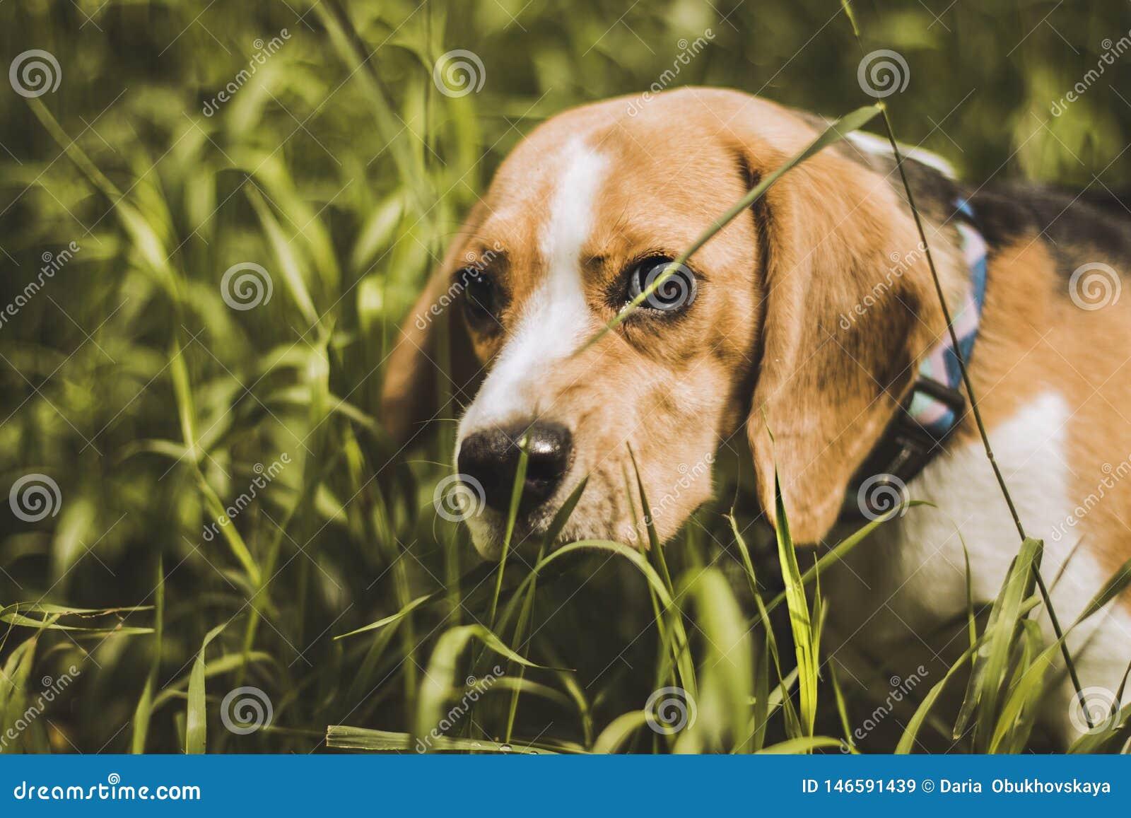 Beagle dog hunter follows the trail