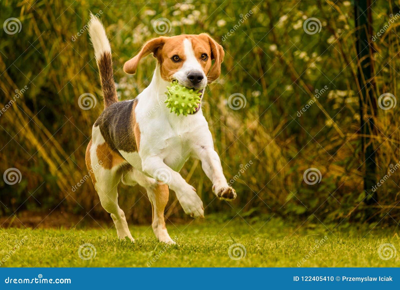 Beagle Dog Pet Run And Fun Outdoor. Dog I Garden In Summer Sunny Day ...