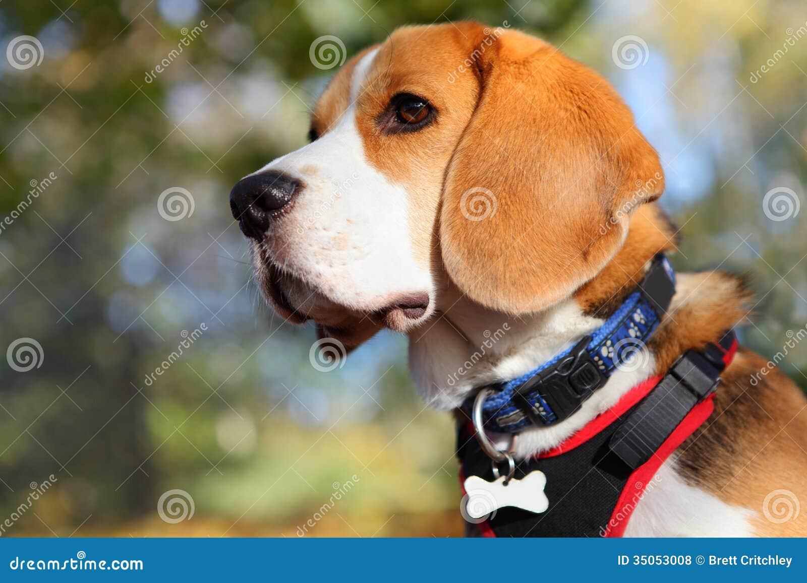 Beagle dog portrait stock photo. Image of beagle, head - 35053008