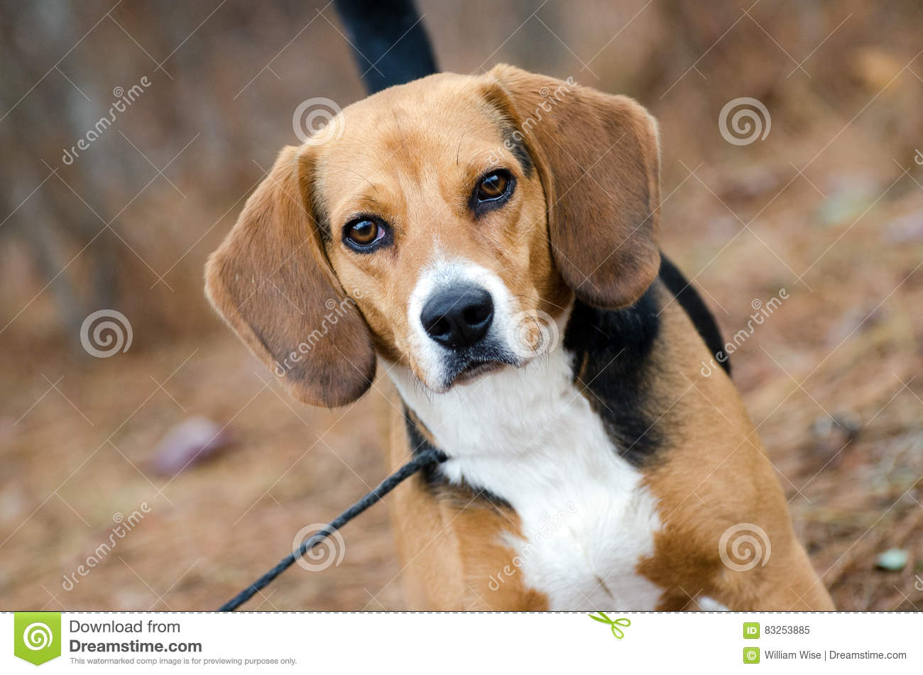 Beagle Dog stock image  Image of aussie, merle, control - 83253885