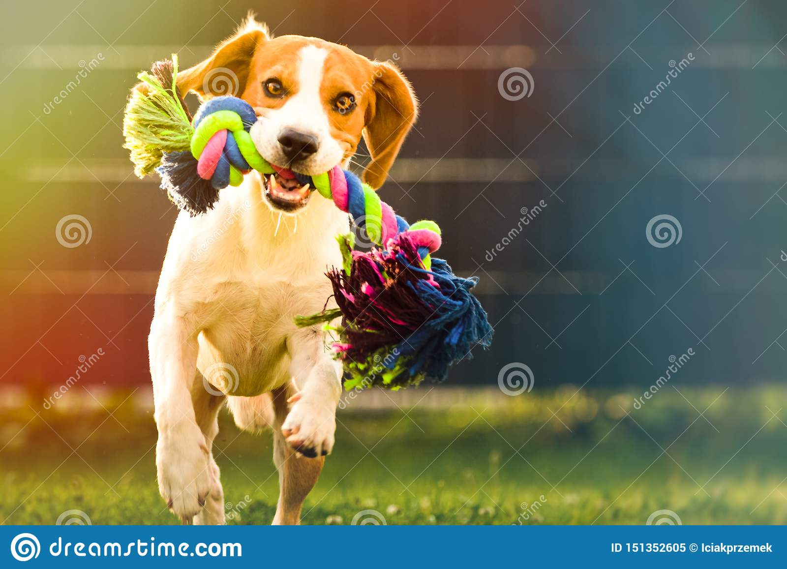 Beagle dog runs in garden towards the camera with colorful toy