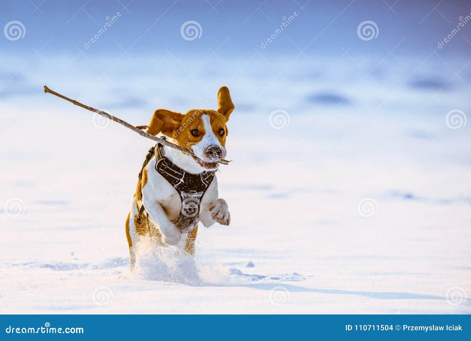 Beagle dog runs with a stick