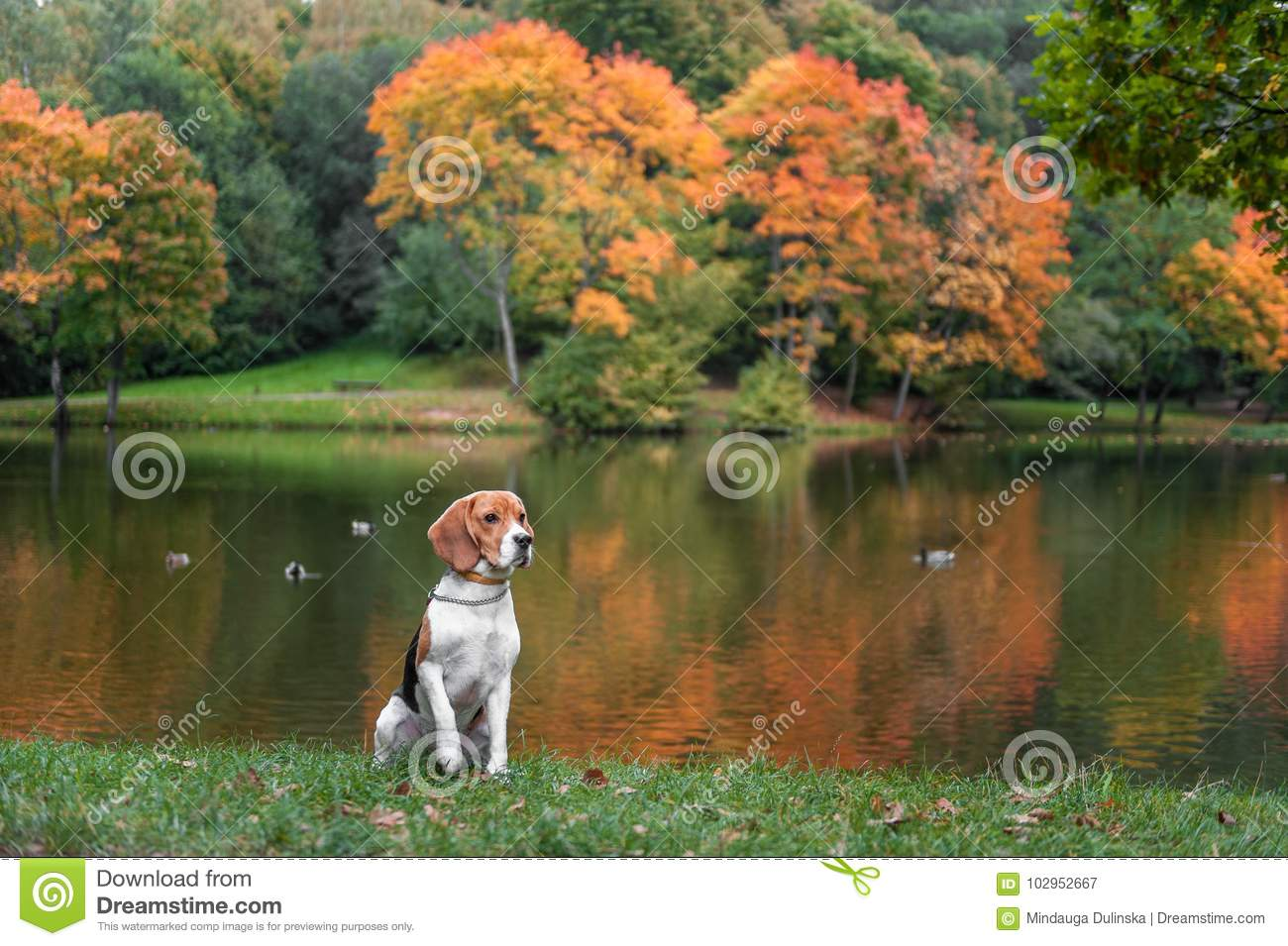 Beagle Dog Sitting on the grass. Autumn Tree Background. Water and Reflection. Duck in Background.