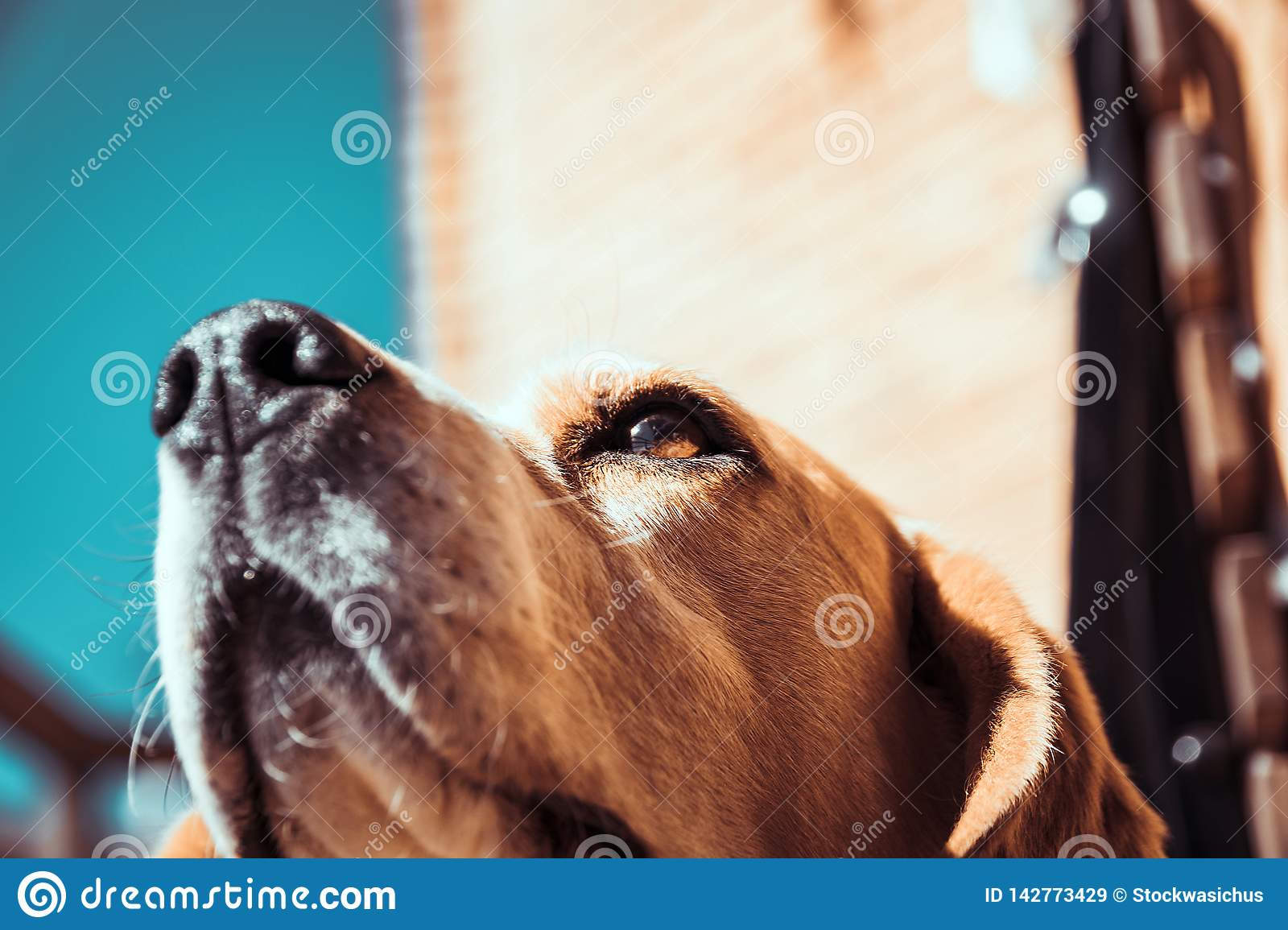 Beagle dog smelling or sniffing air with nose. Tracking beagle dog
