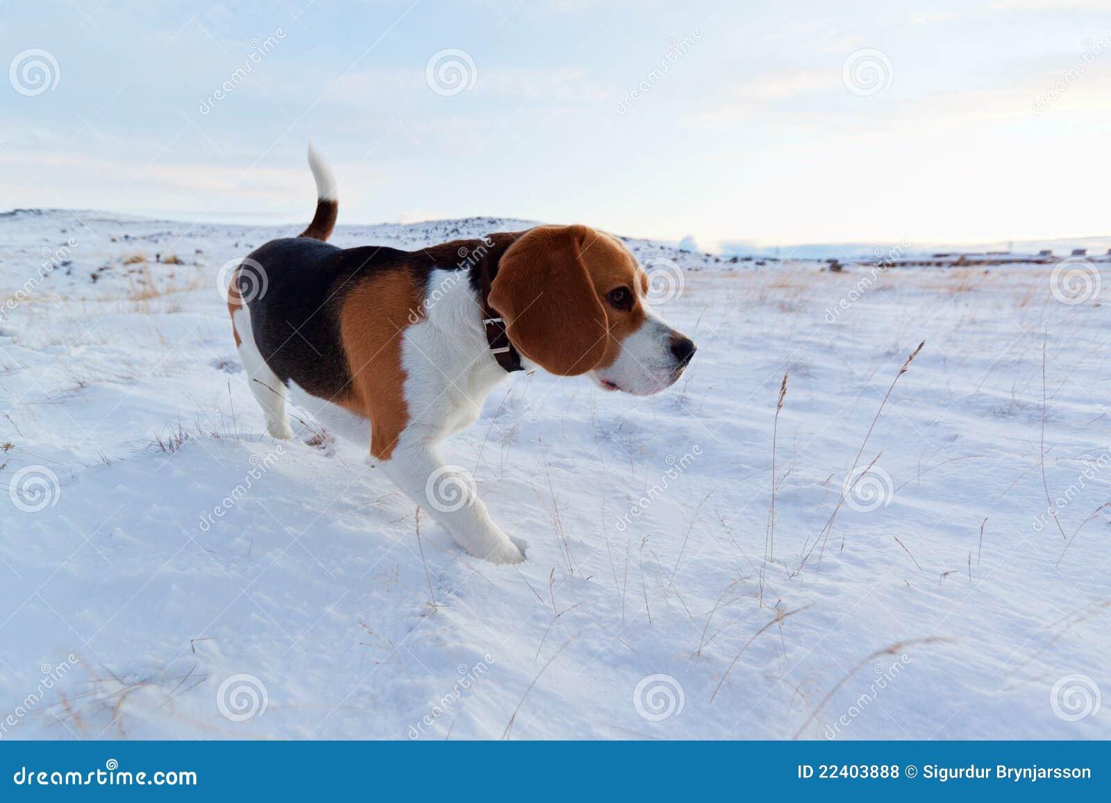 A Beagle dog in snow.