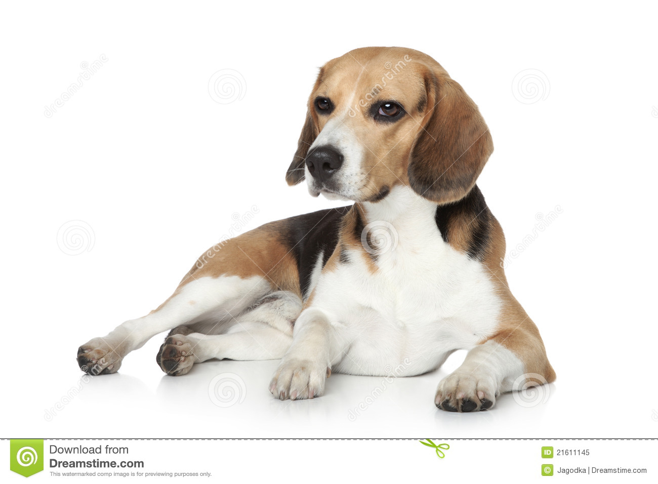 Beagle Dog In Studio On A White Background Royalty Free Stock Photo ...