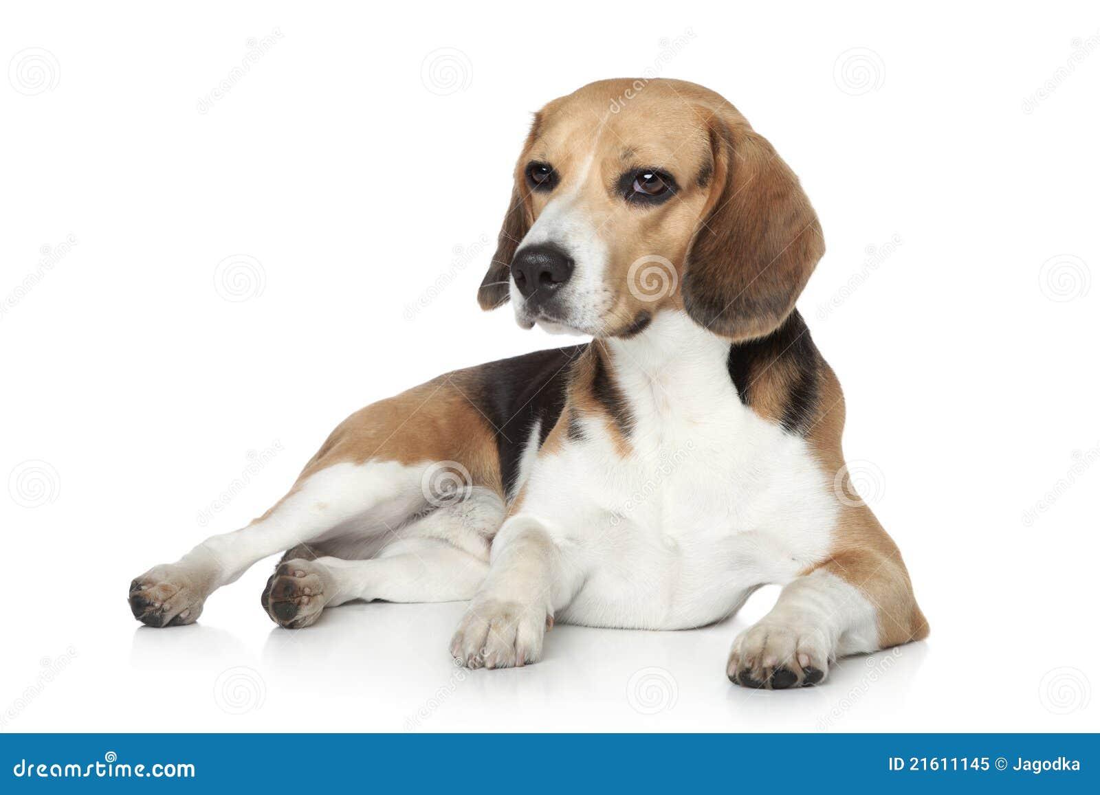 beagle_image