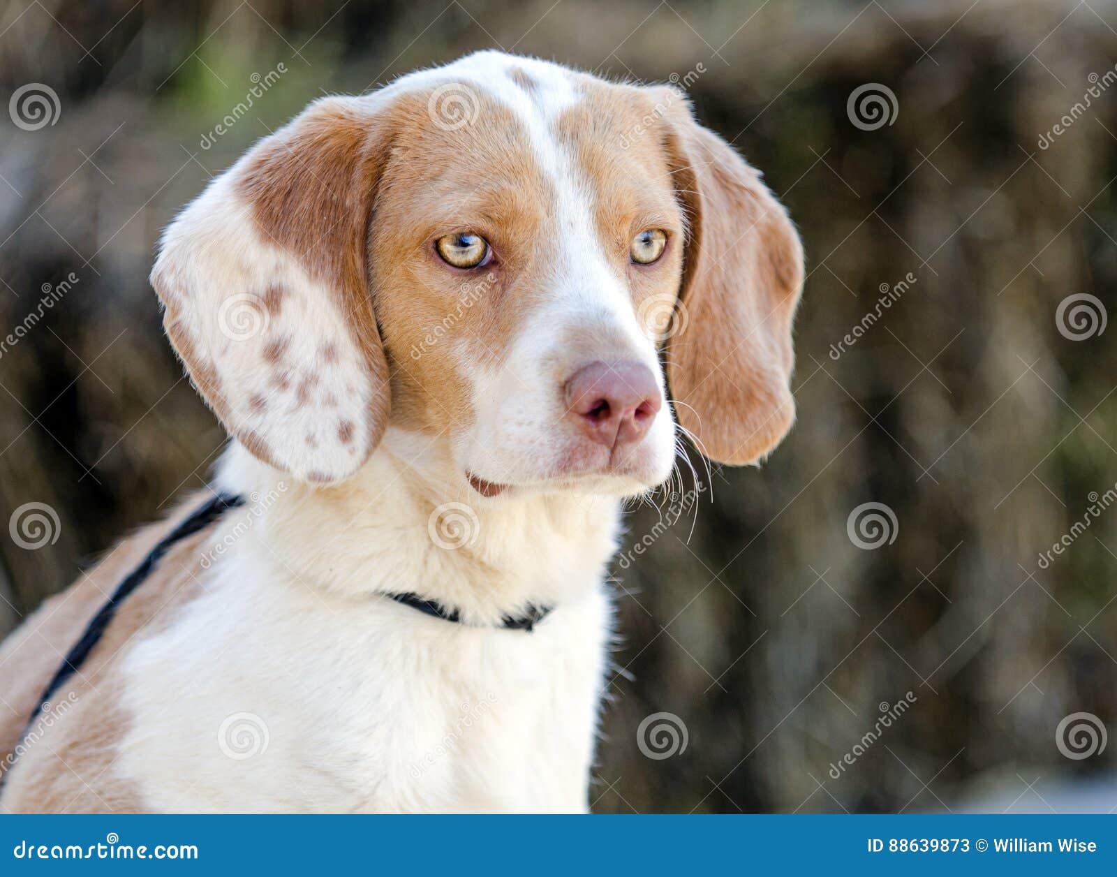 Beagle Dog Walton County Animal Shelter Stock Image