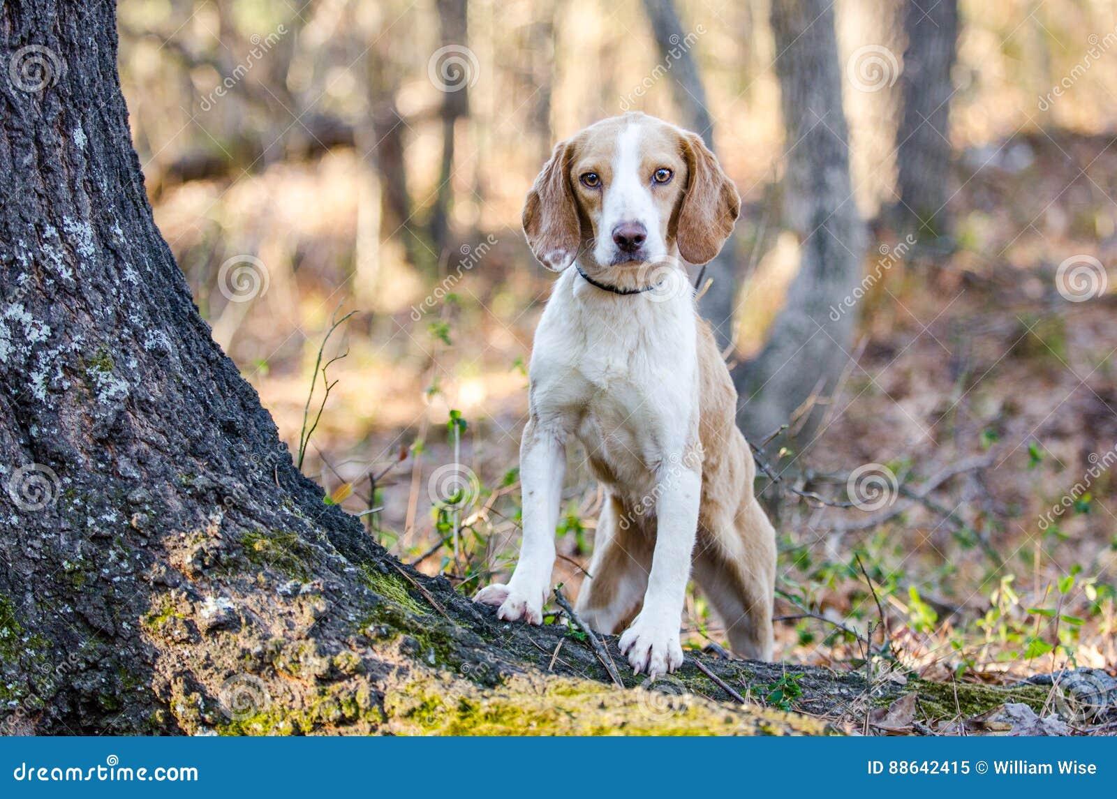 Beagle Dog Walton County Animal Shelter Stock Image Image