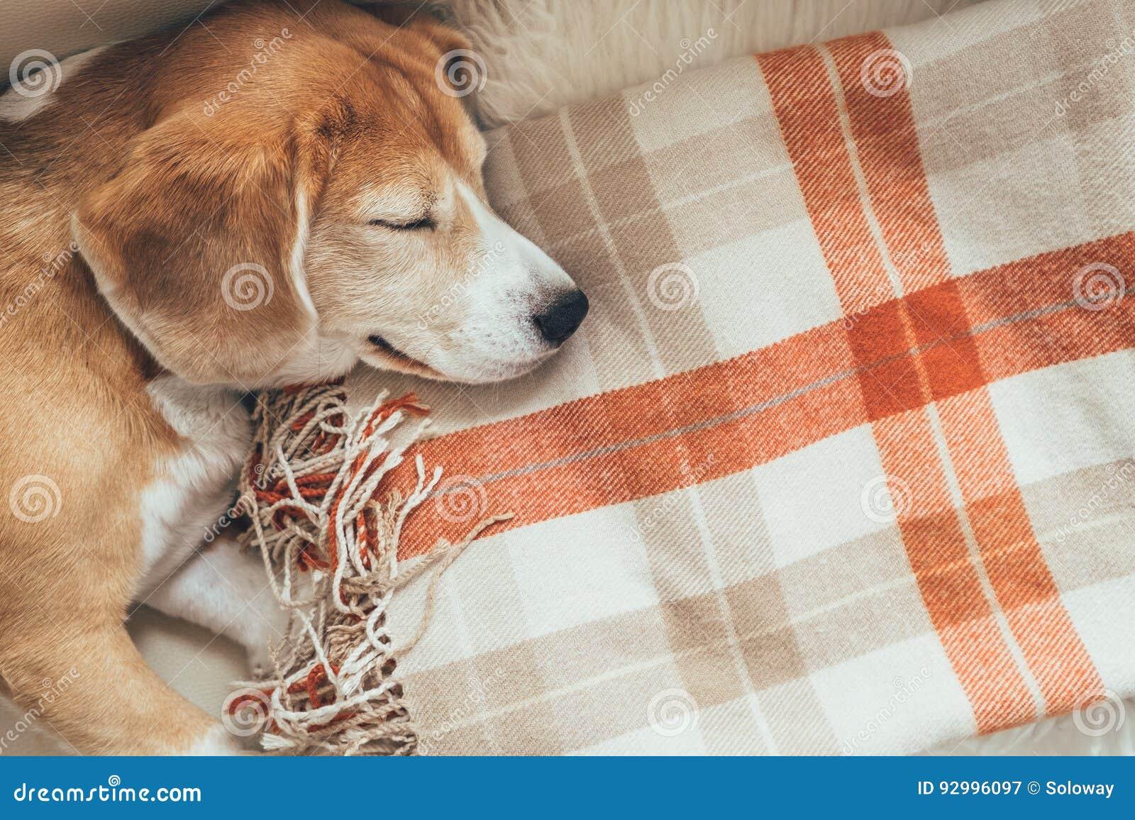 Beagle el dormir en las cubiertas acogedoras