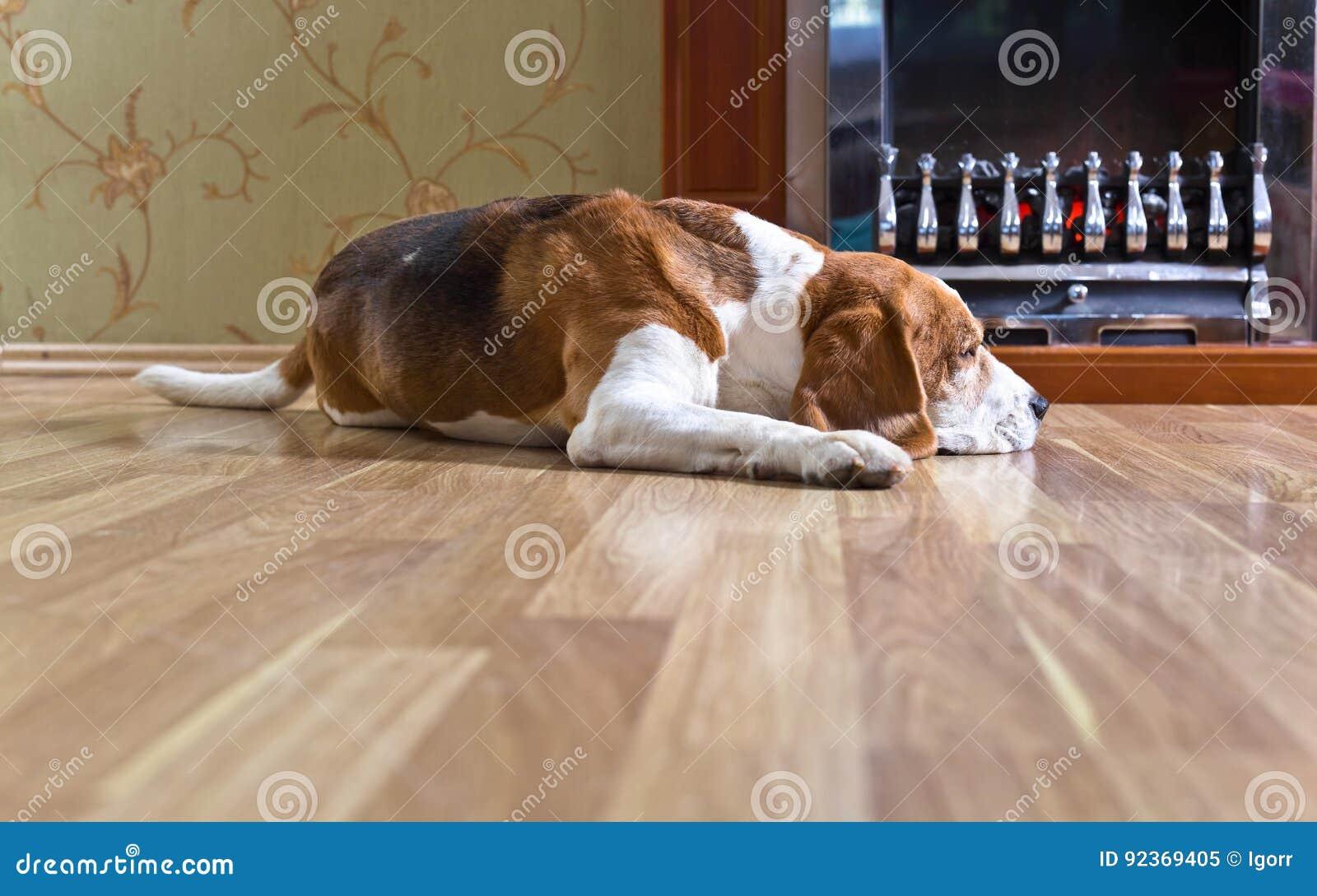 Beagle en el piso de madera cerca de la chimenea