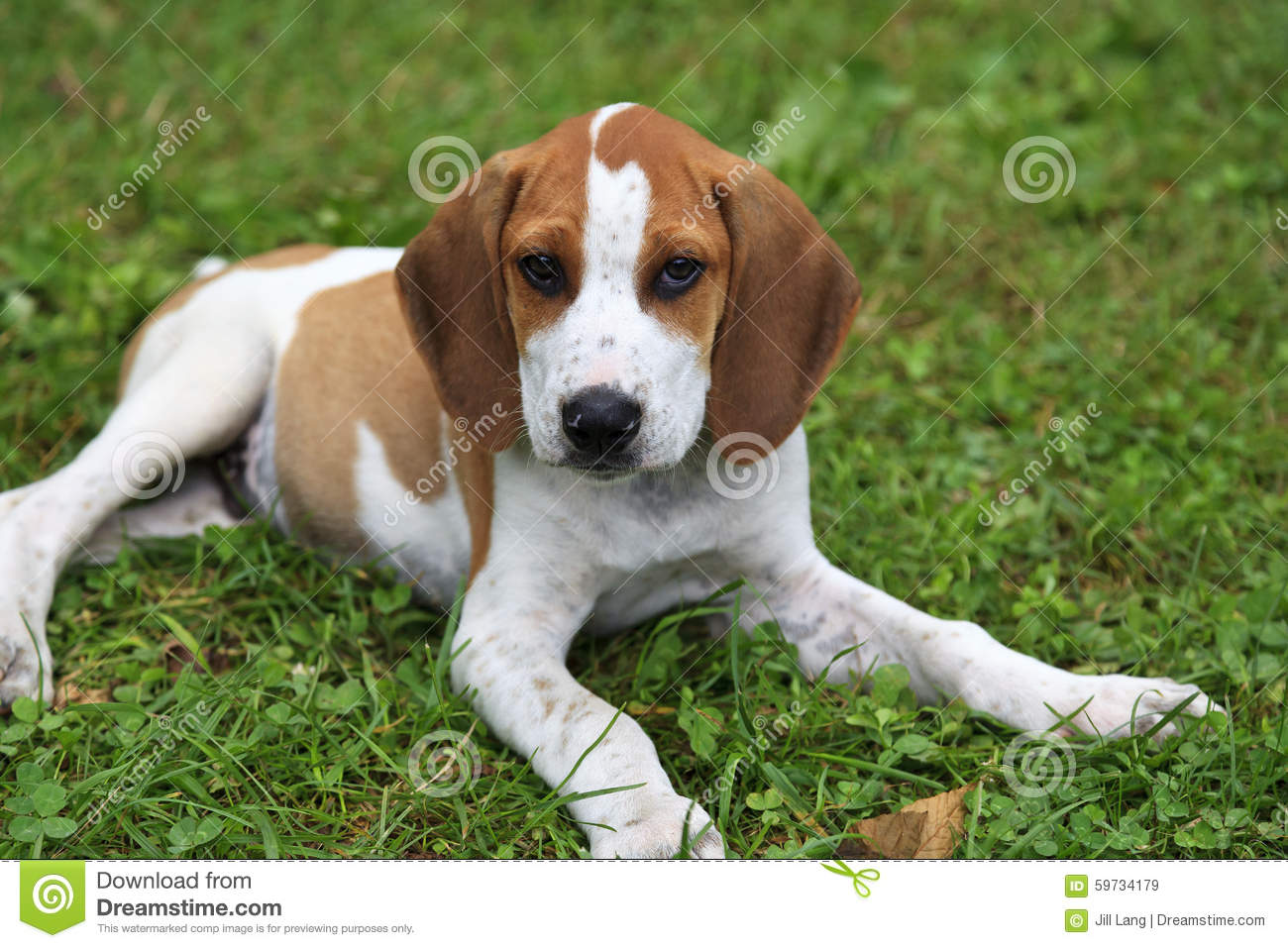 hound dog puppies wwwpixsharkcom images galleries