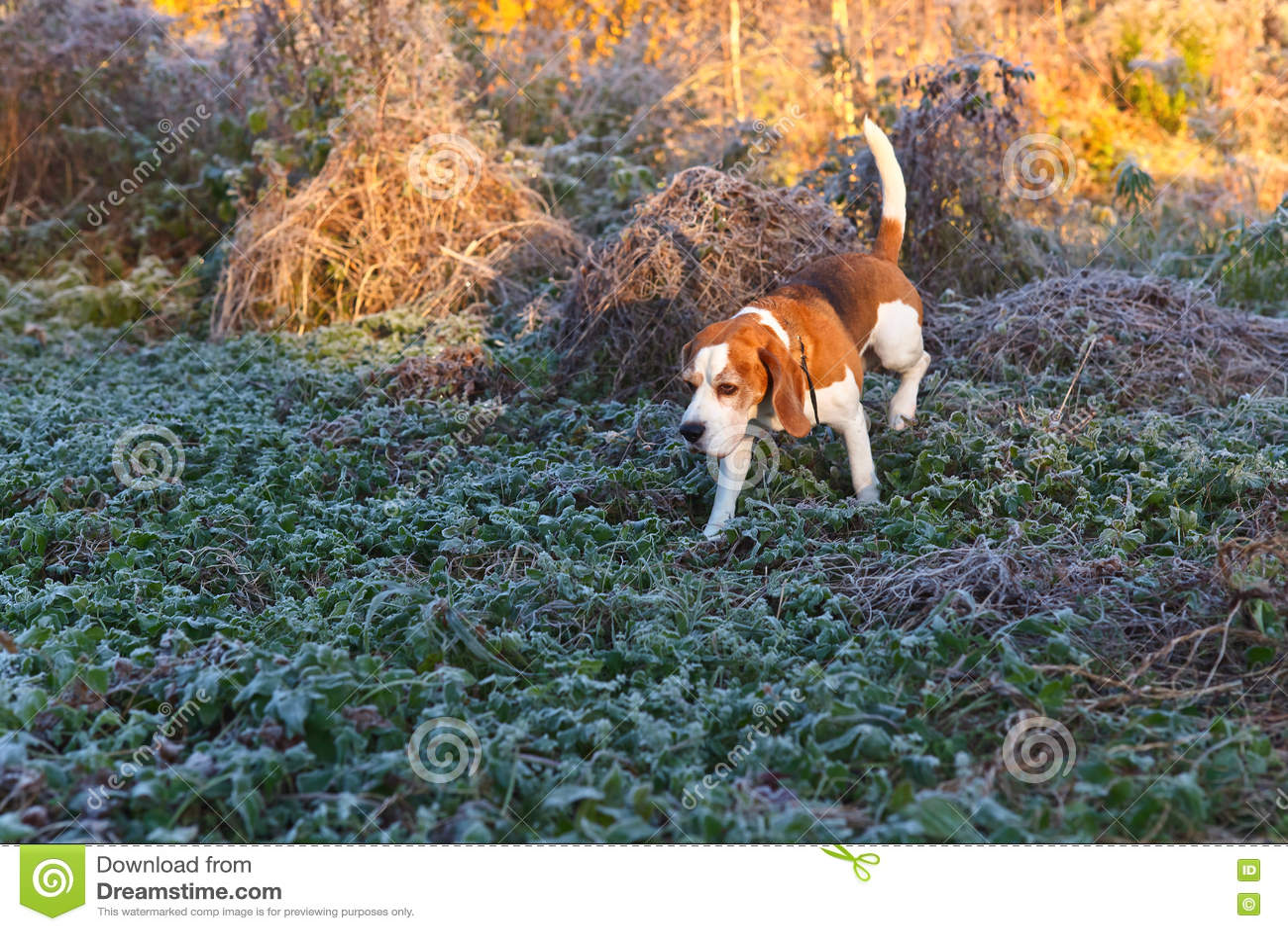 Beagle i ottan i höstskog