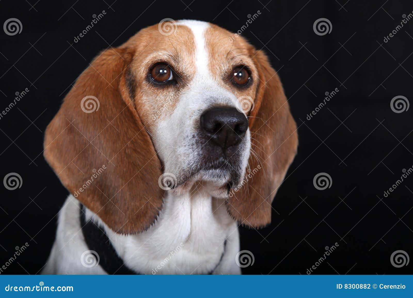 Beagle masculino