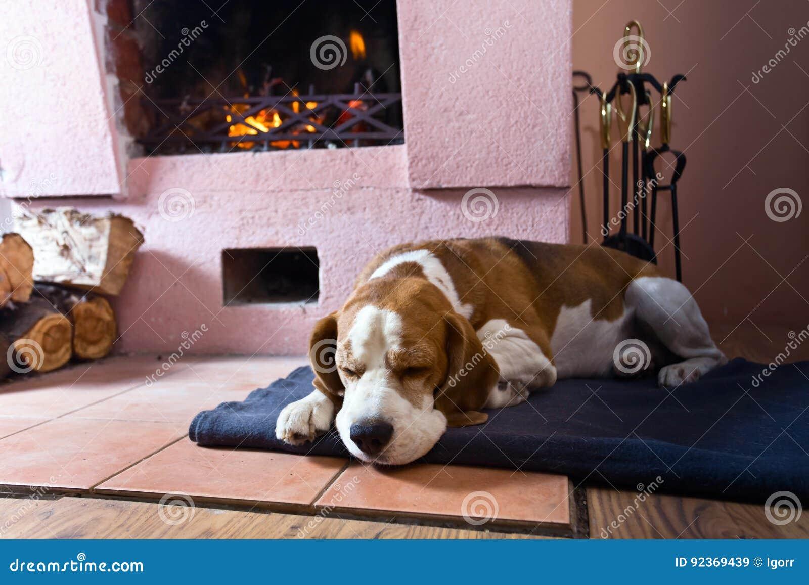 Beagle på golvet nära den gamla spisen