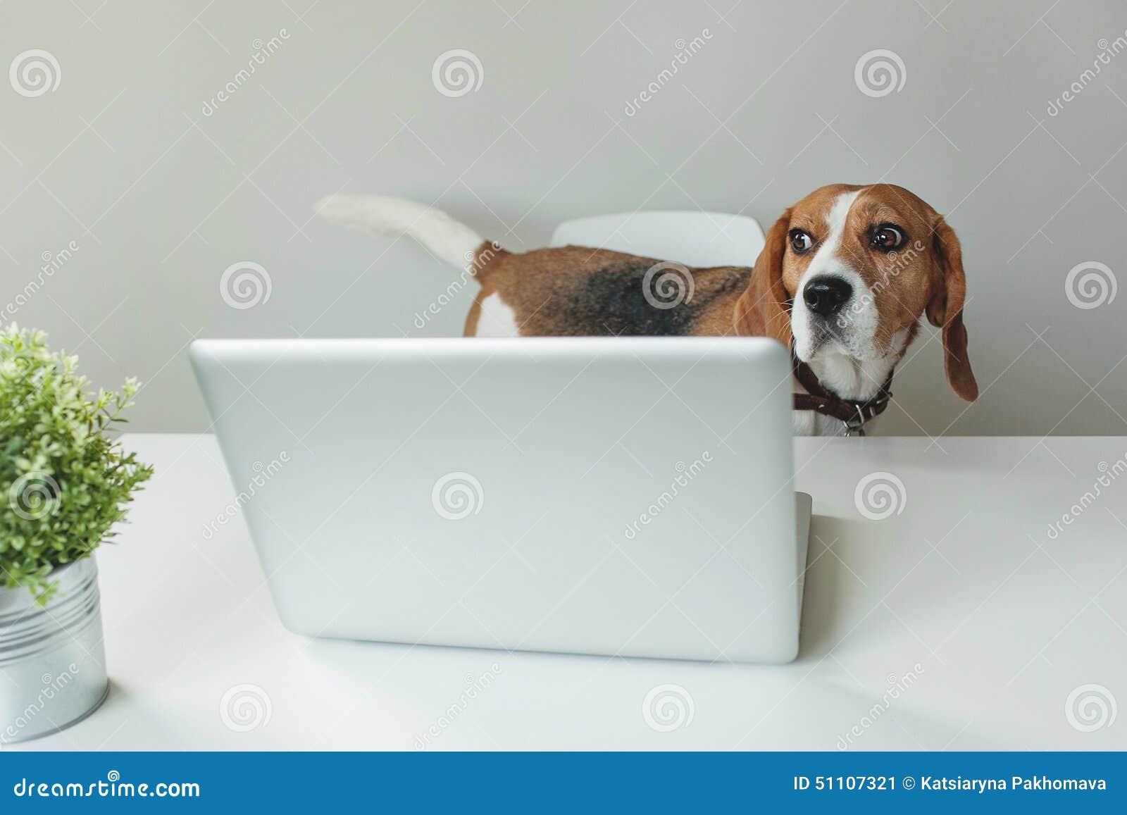 Beagle pies przy biuro stołem z laptopem