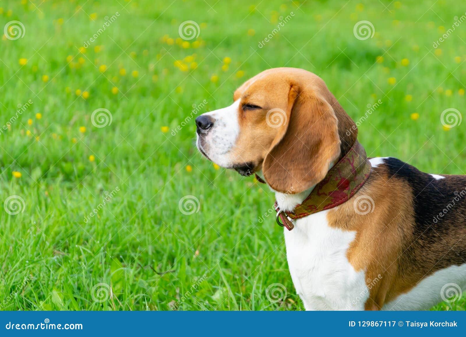 Beagle plażowy Oregon