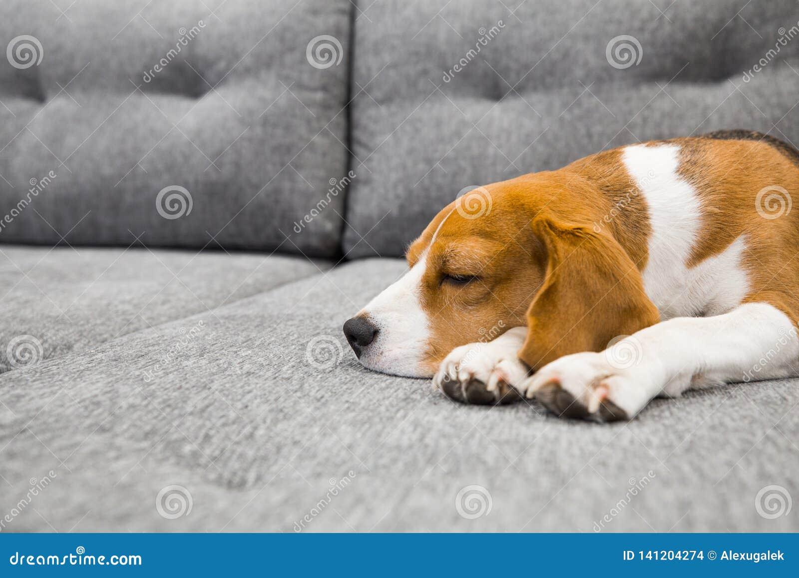 Beagle Psi dosypianie