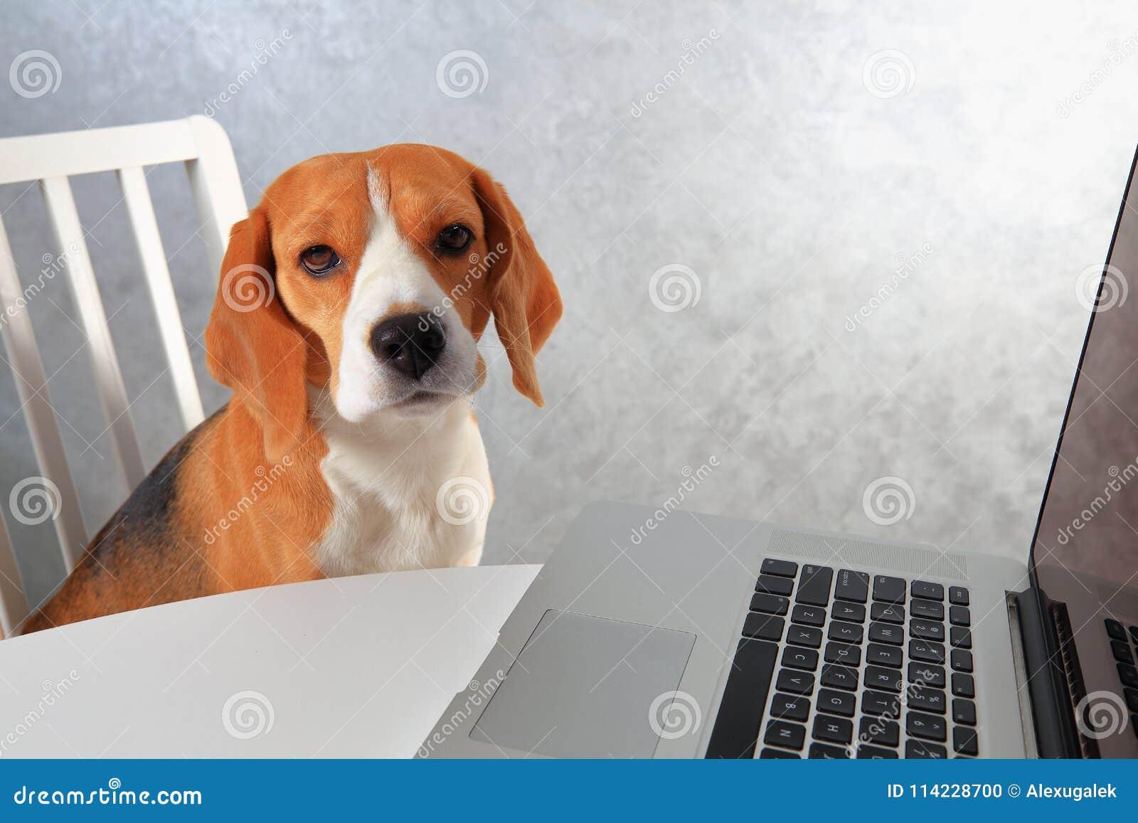 Beagle psi obsiadanie przy laptopem psi używać laptopu