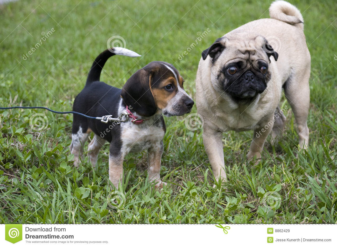 pug and beagle beagle and pug royalty free stock images image 8862429 9424
