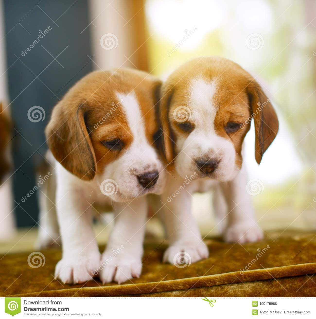 Beagle Puppies Stock Photo Image Of Baby Dogs Cute 100179968
