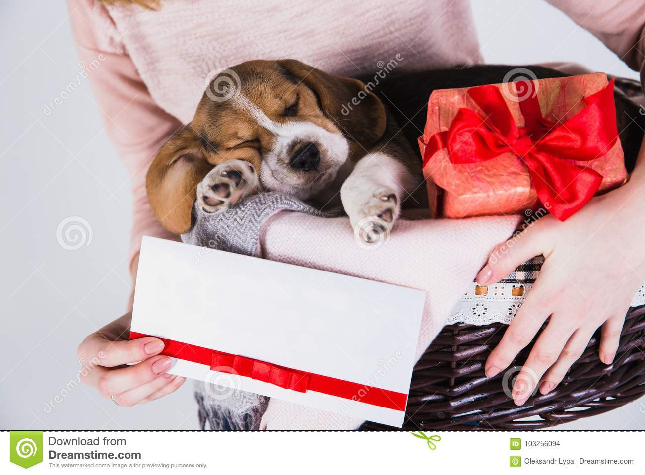 Beagle Puppies Sleeping In The Basket Stock Photo Image Of Gift Cute 103256094