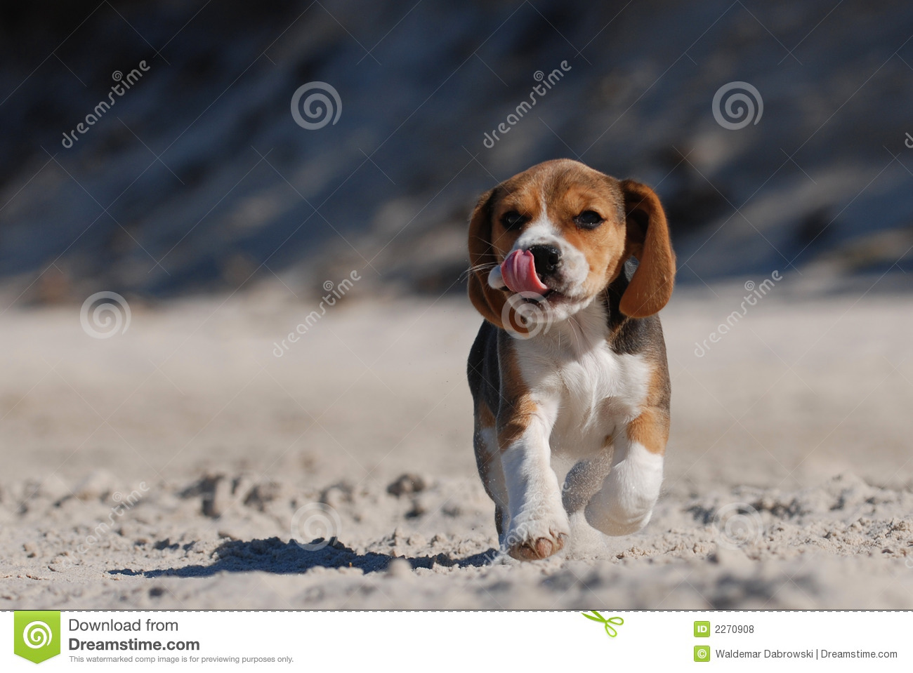 Download Beagle puppy stock photo. Image of funny, friendship, breed - 2270908