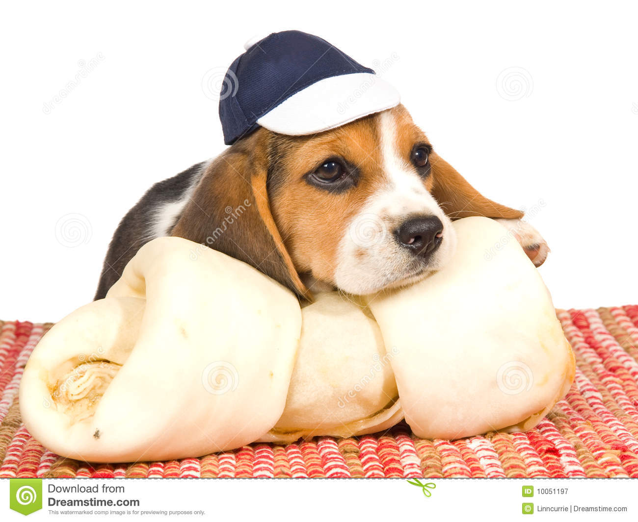 Beagle Puppy With Blue Cap And Huge Bone Stock Image