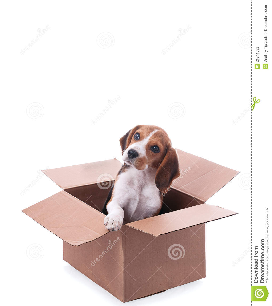 beagle puppy in box stock photo image of terrier animals 21841082