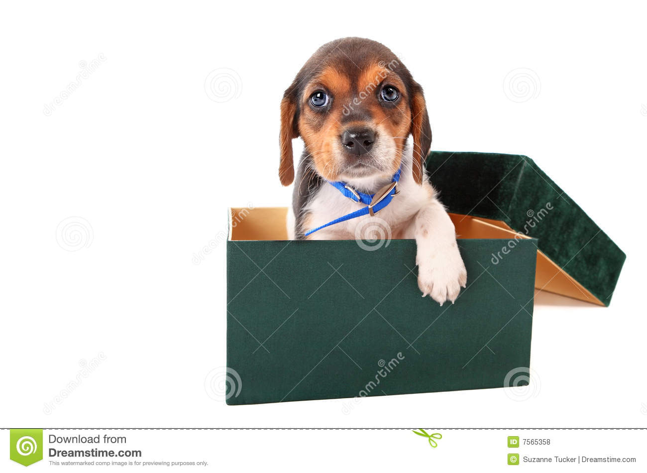 beagle puppy in a box stock photo image of cute lovable 7565358