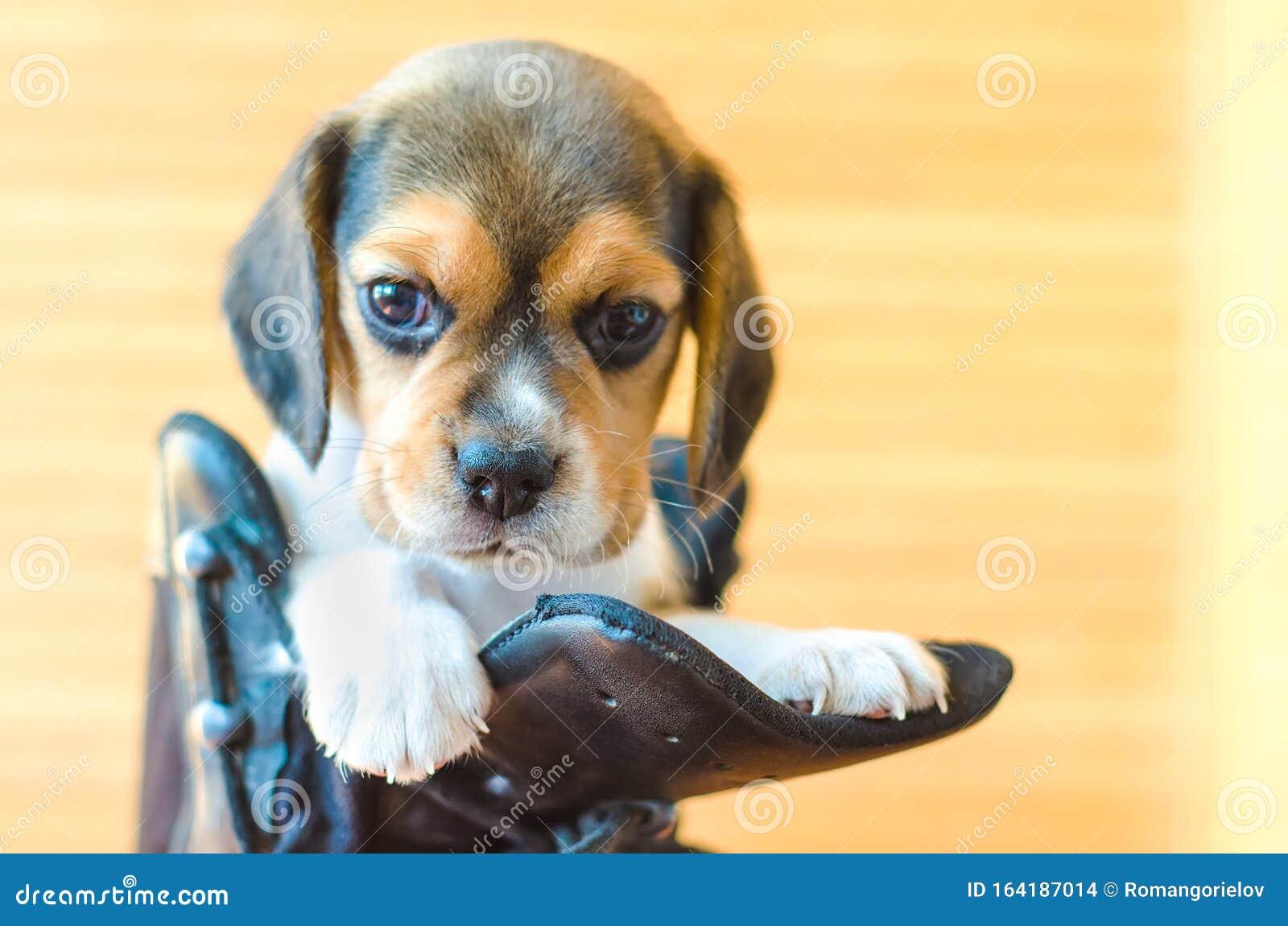Beagle Puppy Stock Photo Image Of Muzzle Beagle Little 164187014