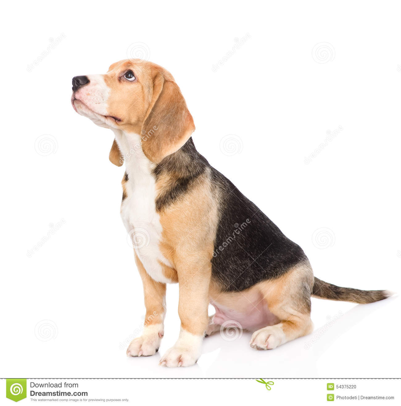 beagle puppy dog looking away and up isolated on white