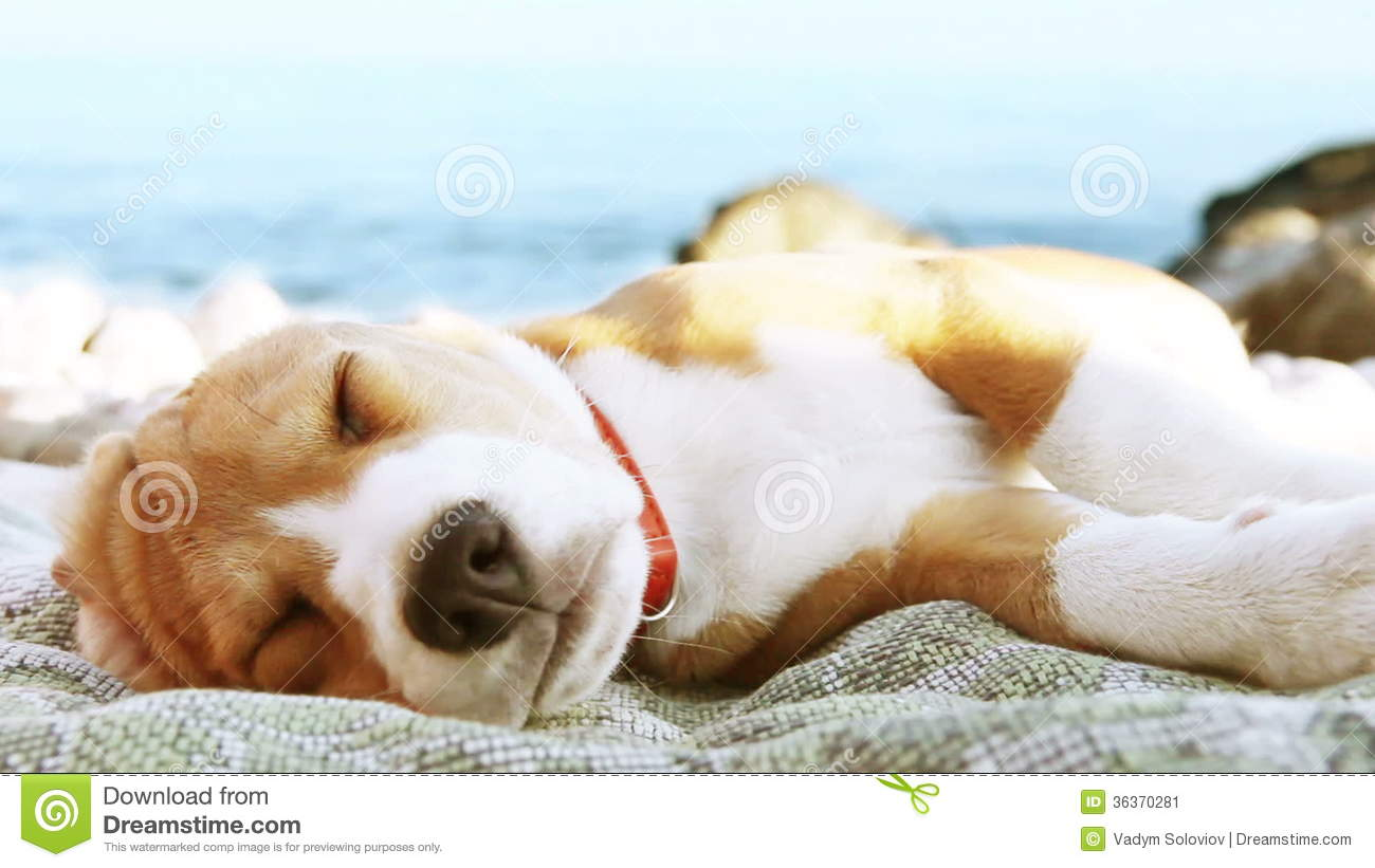 Most Inspiring Sea Beagle Adorable Dog - beagle-puppy-dog-sunbathing-sea-coast-funny-beach-scene-hight-definition-video-fps-sec-please-look-another-footages-my-36370281  You Should Have_208146  .jpg