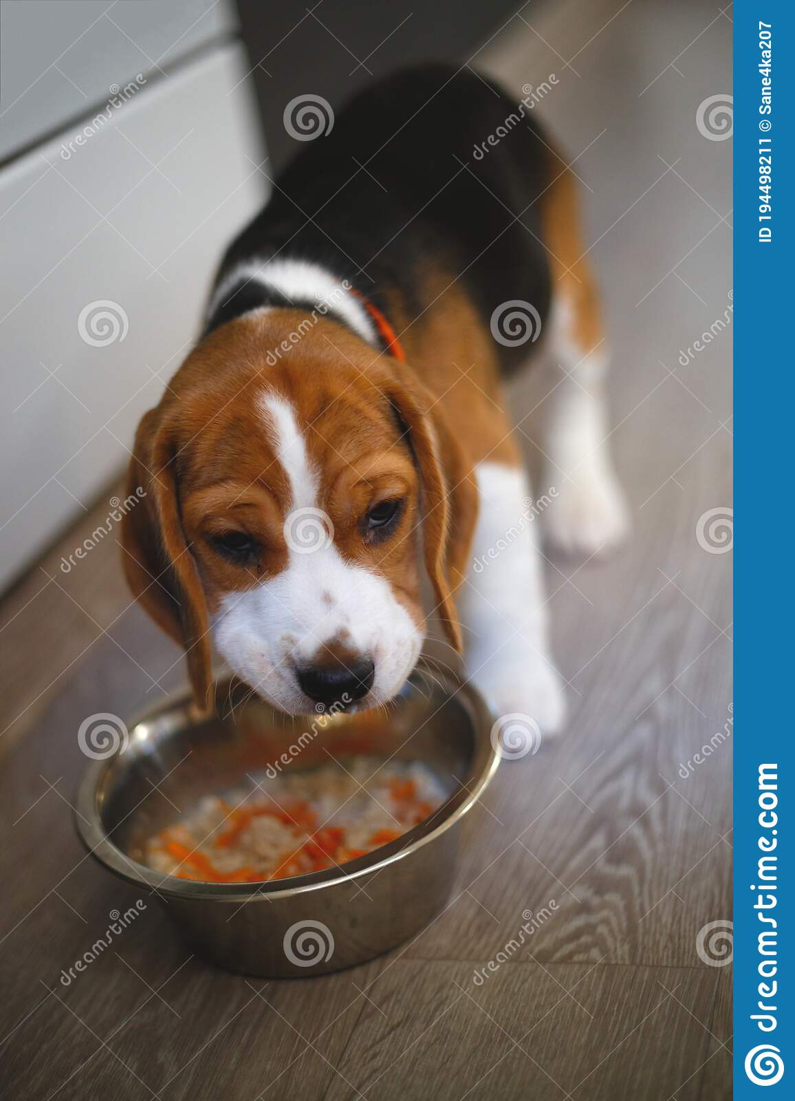Beagle Puppy Eating Natural Food From A Bowl Stock Image Image Of British Humor 194498211